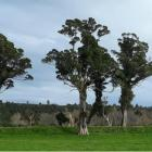 West Coast locals are furious the four 300-year-old rātā trees in Karamea are set to be cleared...