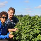 Afsaneh and Tony Howey inspect fruit at their certified organic blackcurrant orchard. Photo:...