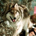 This file photo shows a Mexican gray wolf after being released from a cage in Hannagan Meadows,...