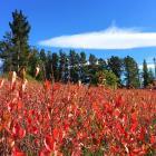 Ross Meldrum's aronia bushes in autumn. Photo: Joy Bennett