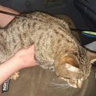 Alison St resident Chantelle Gillette said her tabby cat, Sativa, appeared to be shot...