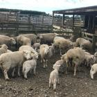 Lambs been brought in for tailing at the Rangiora High School farm. Photo: David Hill