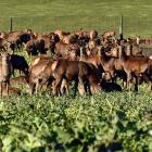 Red deer graze near Queenstown. Photo: Stephen Jaquiery