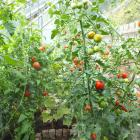 Tall (intermediate) tomatoes in a Central Otago glasshouse. Photo: Bettina Vine