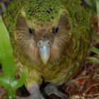 Kakapo. PHOTO: ODT FILES