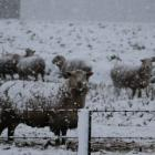 Sheep on winter feed near Riversdale. Photo: Sandy Eggleston