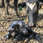 Dairy cows calve in a warmer, drier environment, on Dean Alexander's feed, calving and wintering...