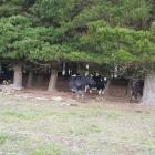 Chris and Charleen Withy have a .8ha pine plantation on their dairy farm, which is ideal for...