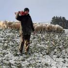 Hayden Robertson (17) shifts a break fence for ewes feeding on swedes at his family's farm at...