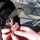 Adult black stilt Tonui is prepared for a return back into the wild after healing from an...