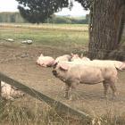 Free-range pigs in South Canterbury. Photo: Chris Tobin