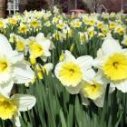 Daffodils lap up the sun at Willowbank, in Dunedin, yesterday. Photo: Stephen Jaquiery