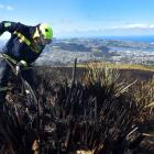 Wakari Firefighter Craig Connor digs for hot spots on Flagstaff. PHOTO: PETER MCINTOSH