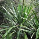 Doryanthes palmeri. Photo: Christine O'Connor