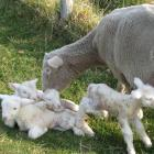 Lamb producer organisations from the United States, Australia and New Zealand are working...