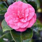 Camellia japonica 'Drydale'. Photo: Peter McIntosh