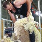 Invercargill shearer Nathan Stratford, (pictured shearing during the Wales versus New Zealand...