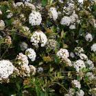 Viburnum x burkwoodii has highly fragrant white flowers. Photo: Gregor Richardson