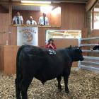 Marie Timperley checks on one her bulls in the ring at Timperlea Angus' first on-farm yearling...