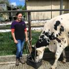 Olivia Cahill checks on 5-year-old cow Lucy, who she hopes will enjoy some success at the New...
