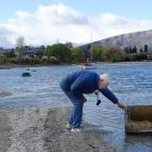 Retired zoologist and the man behind Lake Wanaka's grebe project, John Darby, attempts to move a...