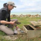 Weighing a 5-week-old little penguin chick at the Oamaru Creek penguin reserve yesterday is...