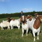 Owen Booth with some of his imported Boer goats on his North Otago property. Photo by Sally Rae.