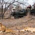 Expert trackers, Lazarus and Louis, find a pride of lions sleeping off dinner during a drive from...