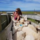 Jenna Clearwater (12) drenches a mob of ewes. Photos: Supplied