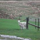 Lamb survival rates are taking a hit with the extremely cold weather fronts that have hit the...