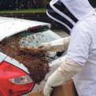 Bees in Greymouth found themselves at home on a car. Photo: Greymouth Star