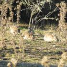 Rabbit populations have ''exploded'' in some parts of Central Otago. Photo: Mark Price