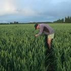 Brian Leadley checking for hail damage at his mid-Canterbury property. Photo: Supplied