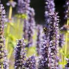 Agastache. Photos: Getty Images