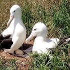 Albatross parents care for a newly laid egg at Taiaroa Head recently. PHOTO: DOC