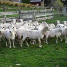 Freshly shorn sheep at a farm in Dalefield, near Queenstown. Photo: Tracey Roxburgh