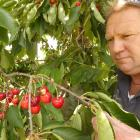 Cromwell cherry orchardist Mark Jackson shows cherries which have been pecked by scavenging birds...