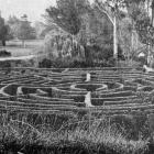 The maze, Dunedin Botanic Gardens, an attraction for visitors, young and old. —  Otago Witness,...