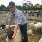 Sheep convener Warwick Seaton checks one of his Suffolk ewes at the Courtenay A&P Show. Photo...