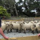 Cameron and Andrew Letham round up hoggets ahead of their inaugural on-farm ram sale at Hermiston...