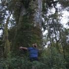 Philip Barker hugging a 29m-tall matai near Lake Kaniere. He estimates the tree to be about 2000...
