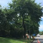 A Downer contractor works to fell a 100-year-old oak tree in Severn St, Oamaru, earlier this...