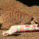 One of the meerkats at Orana with their present. Photo: Orana Wildlife Park