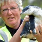 Pukekura Trust scientist Hiltrun Ratz holds a record-breakingly large penguin at Pilots Beach...