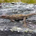 The orange-spotted gecko is one of two species of lizard found on the mountain. The other is the...
