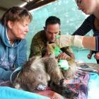 Volunteers at the Kangaroo Island Wildlife Zoo in South Australia treat a koala injured in the...