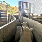 Silver Fern Farms livestock agent Cameron Rowland drafts lambs last week at an East Otago farm....