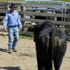 D&J Bucking Bulls co-owner Dan Nichol, of Clarks Junction, prepares to weigh bull Rock On for...