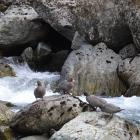 A raft of whio, or blue ducks, discovered on rocks above a stream in the Route Burn last weekend....