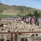 Farmers were keen to see the line-up at this year's Omarama lamb sale on Thursday. PHOTO: SALLY...